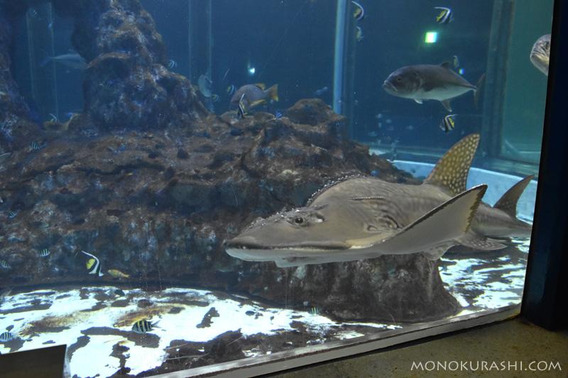 足摺海洋館、シノノメサカタザメ