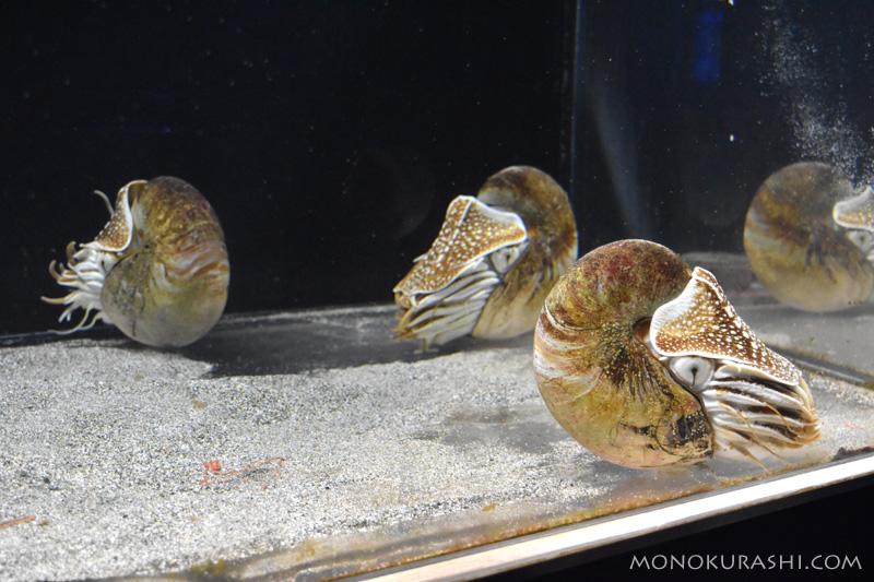 足摺海洋館、オウムガイの仲間