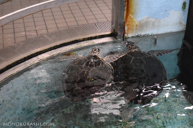 足摺海洋館、ウミガメ