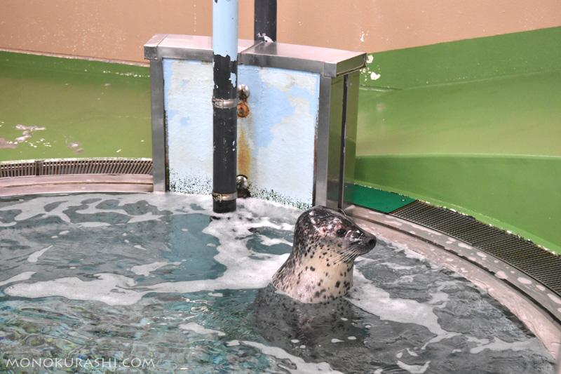 足摺海洋館、ゴマフアザラシ
