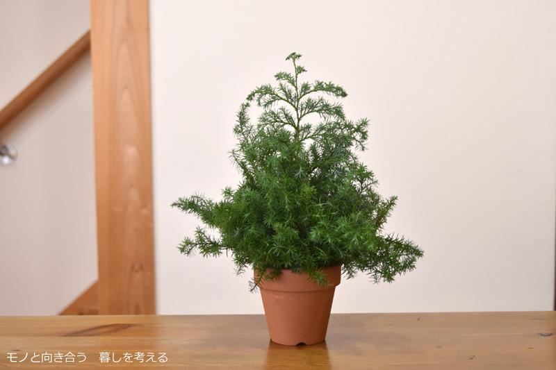 サツマ杉で作るクリスマスツリー