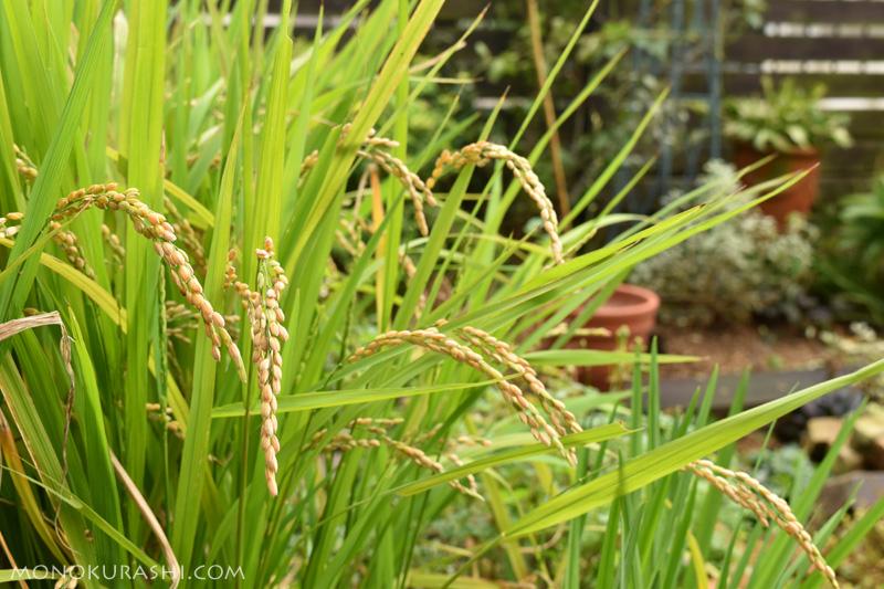 バケツ稲作