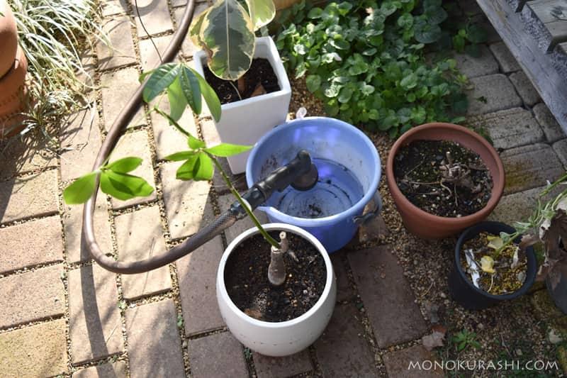 観葉植物の水遣り