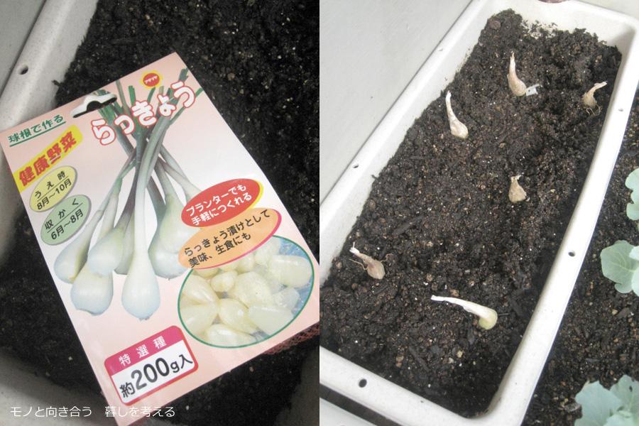 プランターでらっきょうを栽培する