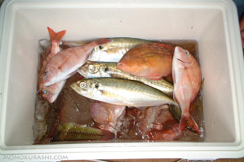 夫が釣ってきた魚(海釣り)