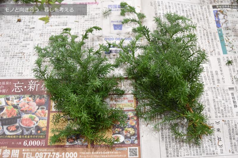 サツマ杉の小枝を数本束ねる