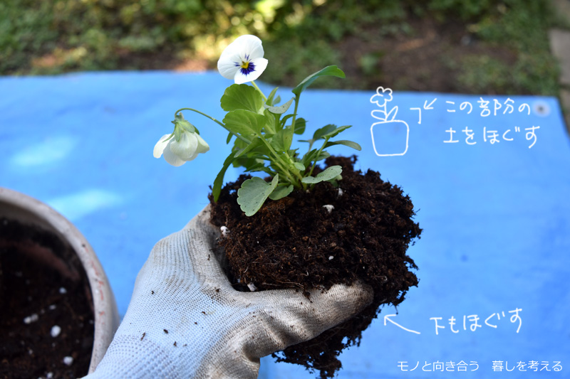 ビオラの土をほぐして植え付ける